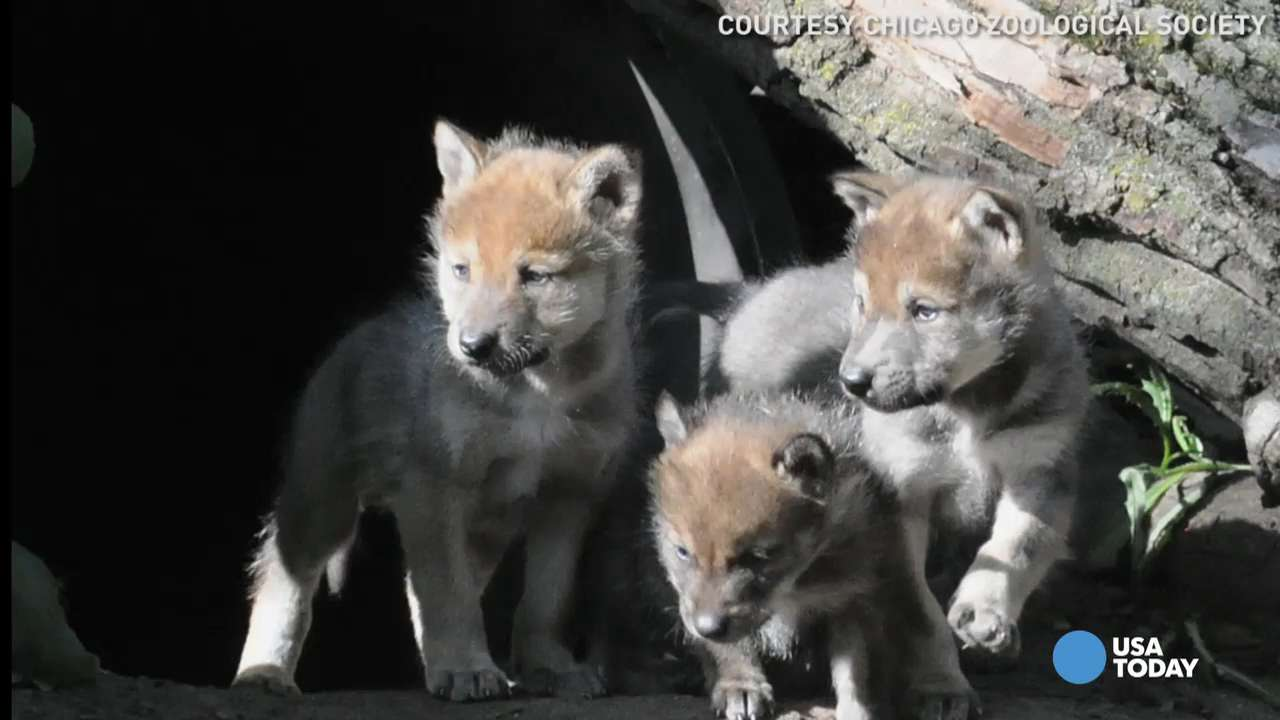 Curious wolf pups step out of den for the first time