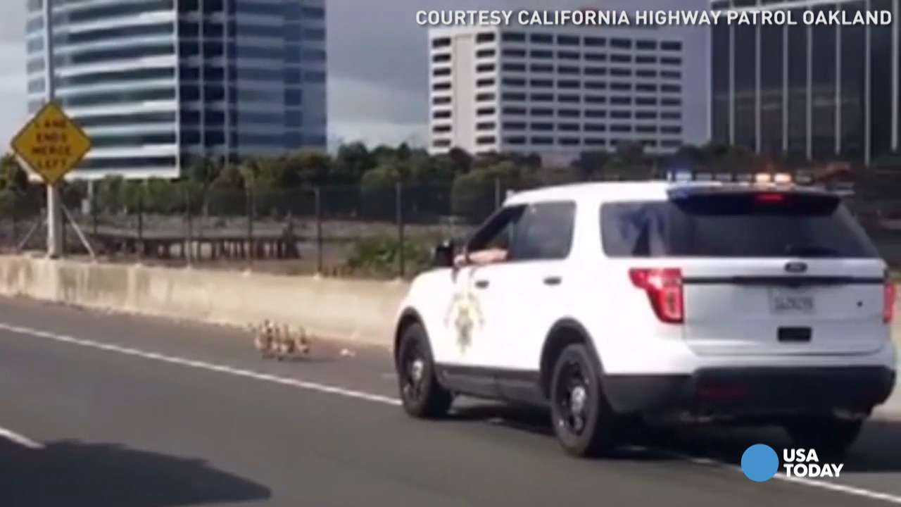 California Highway Patrol stopped traffic on all lanes of the San Francisco-Oakland Bay Bridge to get the geese out of the fast lane. After a few minutes and countless confused looks from drivers, the geese made it safely to the bay.