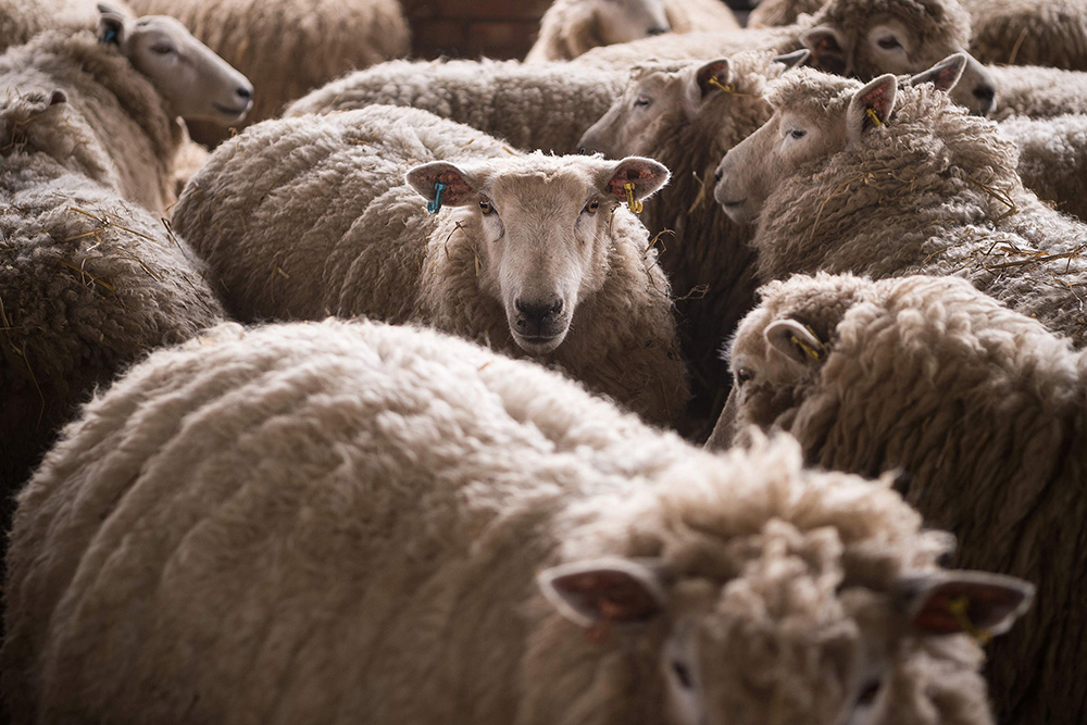 Stoned sheep on rampage in Wales