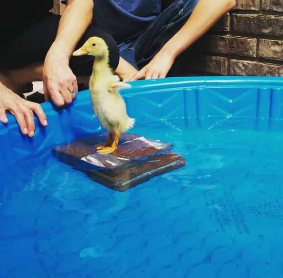 Class's egg experiment hatches one lovely duckling