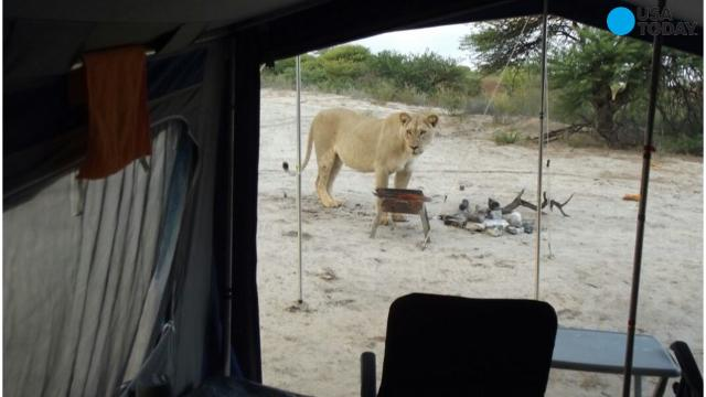 Campers wake up to lions outside tent in Botswana