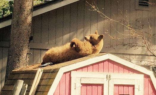Bears sunbath at homes, help themselves to snacks