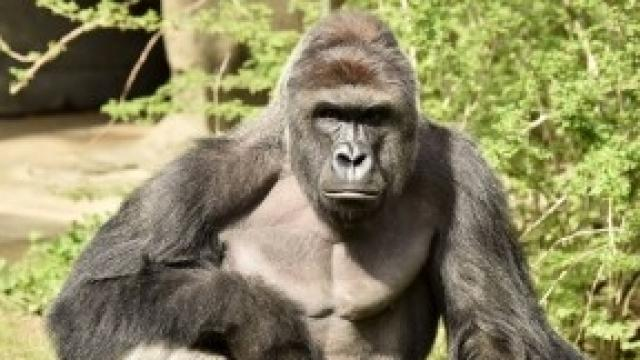 The 17-year-old gorilla celebrated his birthday the day before he died.Video provided by Newsy