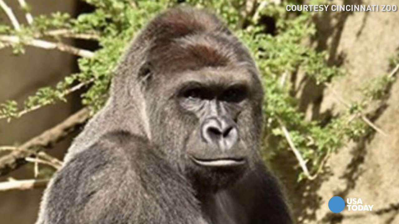 The Cincinnati's Zoo 17-year-old western lowland gorilla, Harambe, picked the 4-year-old boy up and was carrying him around the enclosure. The zoo deemed it a life-threatening situation. The boy was later treated for non-life threatening injuries.