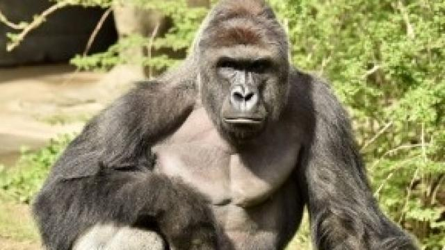After death of gorilla, petitioners seek 'justice for Harambe'