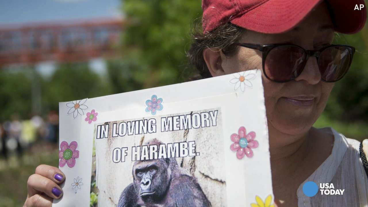 The Cincinnati Zoo shot and killed Harambe, a silverback gorilla, after a young boy fell into a shallow moat surrounding his exhibit. The zoo held a press conference explaining their decision.