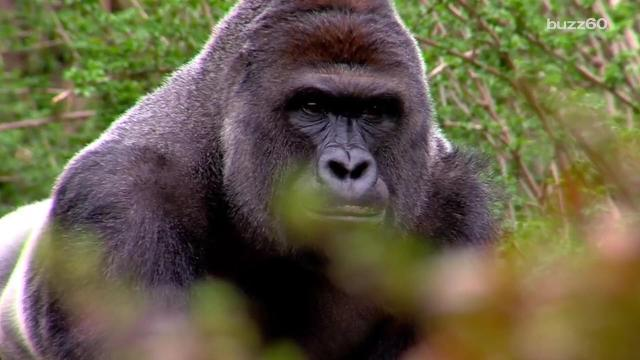 Gorilla Harambe may live on in future offspring