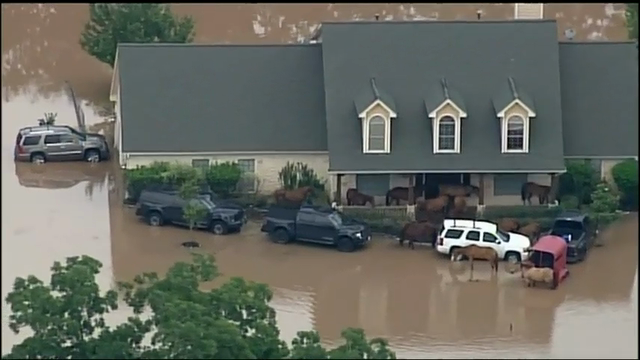 About a dozen horses sought refuge Monday on a home's front porch near Simonton, Texas as they tried to escape the floods caused by the rising of the Brazos River. (May 31)