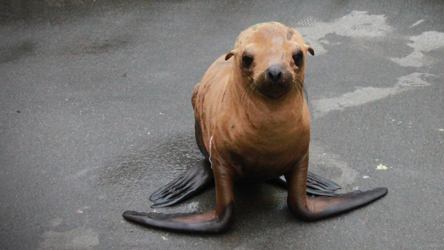 Police found a sea lion pup shivering in a San Francisco stairwell. The little pup was taken to the Marine Mammal Center to be treated.