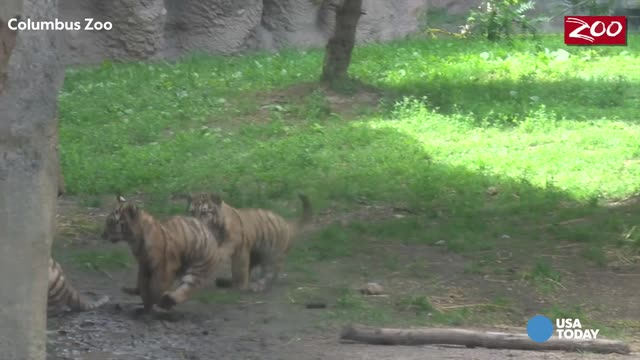 Three adorable Amur tiger cubs born at the Columbus Zoo said hello to their adoring fans this week when they made their first public appearance at the zoo. Columbus Zoo