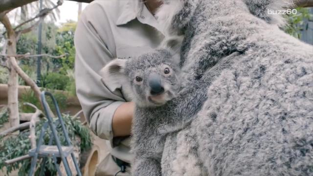 Baby koala adorably emerges from mom's pouch