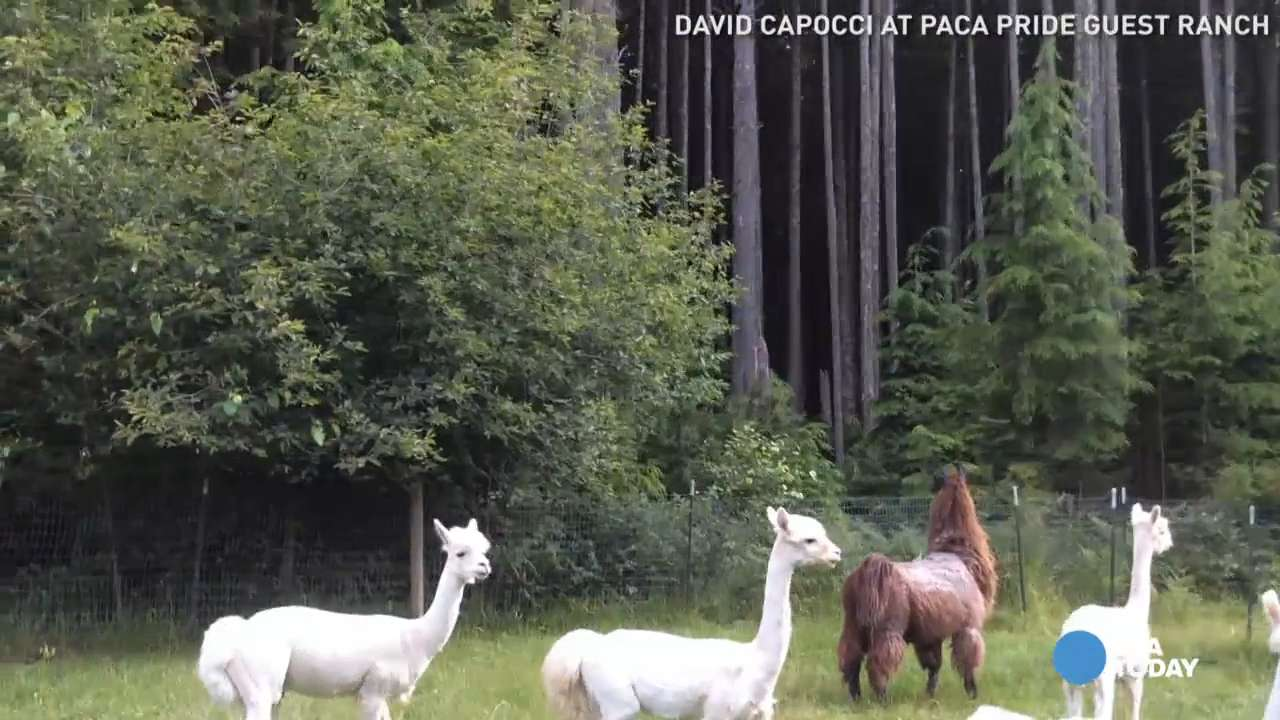 Alpacas chase a bear cub up a tree