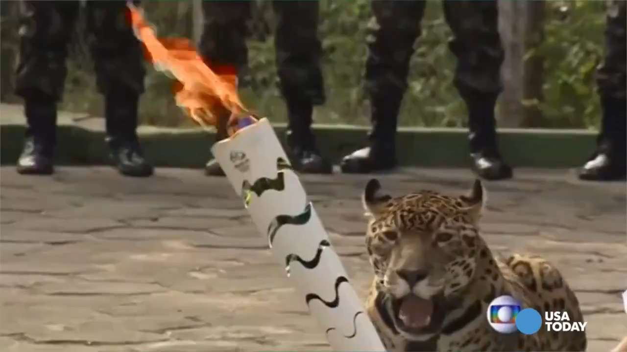 Report jaguar shot after olympic torch ceremony in brazil buycottarizona Image collections