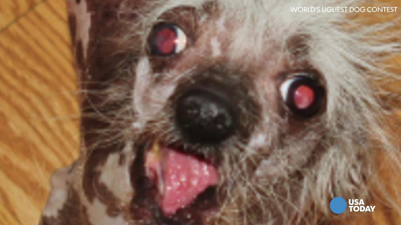 Blind dog with oozing sore wins World's Ugliest Dog contest