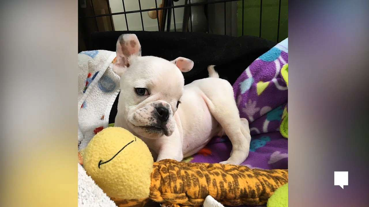 Puppy with fluid on the brain gets second shot at life