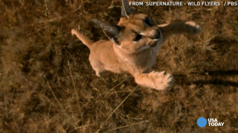 USA TODAY's Robert Bianco previews the PBS nature show 'SuperNature' that marvels at how certain cats, squirrels, and snakes can take flight for Wednesday, June 29.