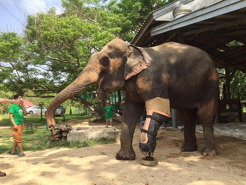 This elephant is standing tall on her new leg