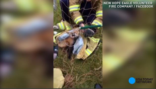 Firemen save fox tangled in soccer net