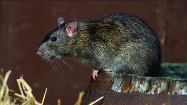 New Zealand has 34 years to get rid of rats