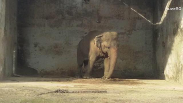 Elephant Freed From Chains After 30 Years