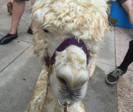 Ethan The Farmer brought an Alpaca to a Bernie Sanders rally to raise awareness for the state of the American farmer. With incredibly hot temperatures they kept her cool with water baths and she turned out to be quite popular with the crowds.