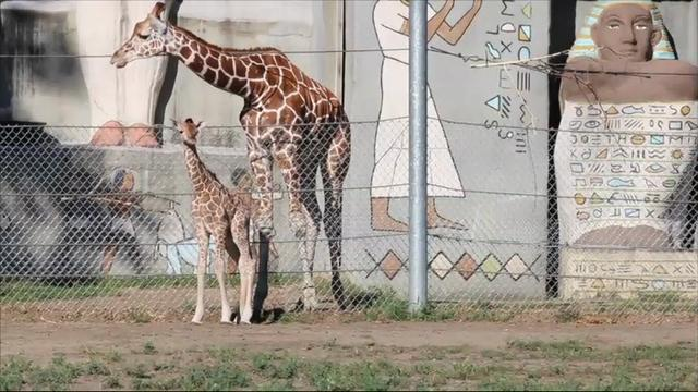 Raw: New Giraffe Stands Over Five Feet Tall
