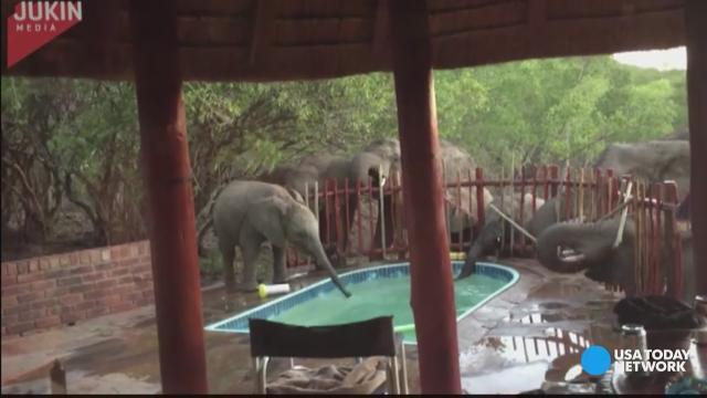 Elephants stop by pool party for a drink