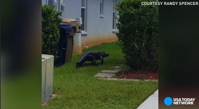 Alligator roams through neighborhood