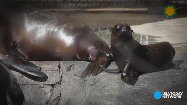 Catalina splashed right into her debut at the Smithsonian National Zoo. She is the first sea lion born there in 32 years.