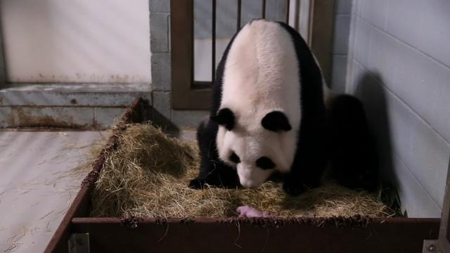 Raw: Giant Panda Gives Birth To Twins, Again