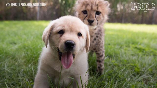 Puppy and cheetah cub are the cutest pair of best friends!