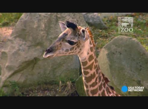 Cincinnati Zoo welcomes another newborn giraffe