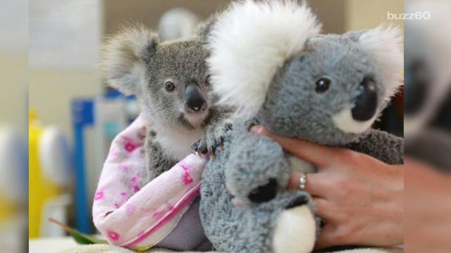 An orphaned koala won't let go of his new toy