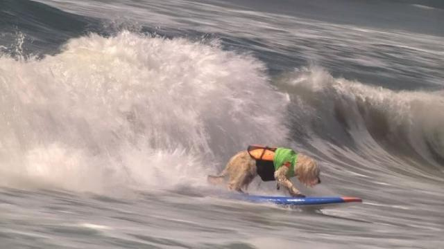 Surf's up at annual dog surfing day in Huntington Beach