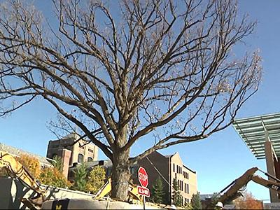In October 2014, a 250-year-old bur oak tree moved into its new home 500 feet away on the University of Michigan campus in Ann Arbor. A year later, horticulturists said it did well without transplant shock. (Nov. 3, 2014)