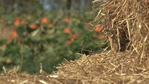 The 2016 pumpkin harvest looks to make up for the shortages caused by bad weather in 2015.