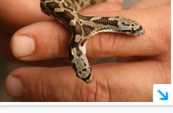A woman in Central Texas discovered a two-headed rat snake.