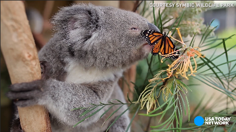 Friendship goals: This koala and butterfly are besties