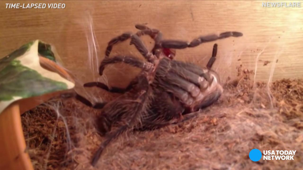 Moulting spider will make your skin crawl