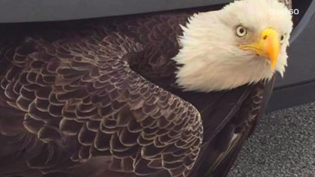Bald Eagle survives being trapped in car grille after hurricane