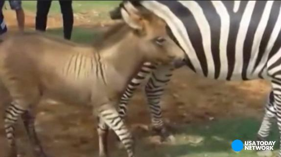 Half-zebra, half-donkey is 100% adorable