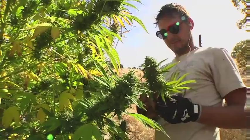 Pot farmers divided over legalization vote