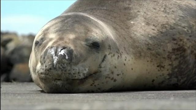 Owha the leopard seal
