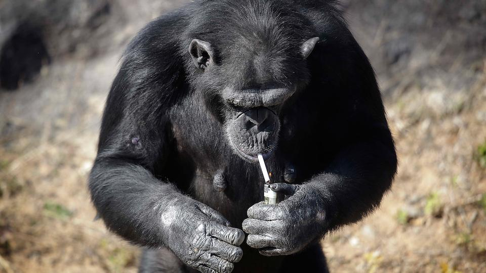 Chimp smokes a pack a day