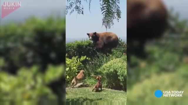 A bear wandered into the wrong California backyard and was scared away by a couple of pint-sized pups.