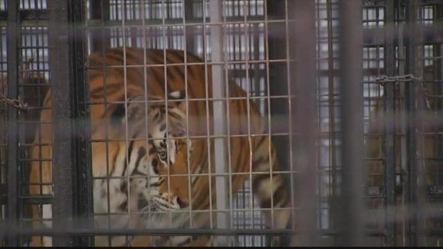 Tiger claws trainer's legs at Florida fair