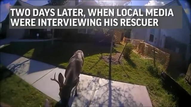 Rescued Deer Returns to Make a Surprise Visit