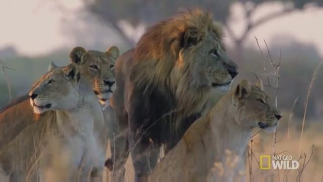 See the real battle to survive in the African savanna on Nat Geo Wild's new series 'Savage Kingdom.'