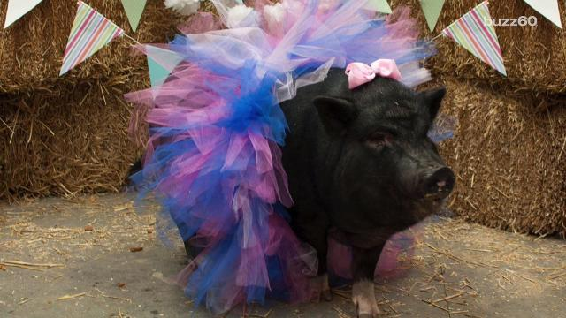 An animal sanctuary held a glamorous photo shoot for a pregnant pig with a dark past. Sean Dowling (@seandowlingtv) has more.