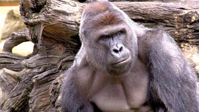 Zoo's gorilla barrier didn't meet standards when Harambe died